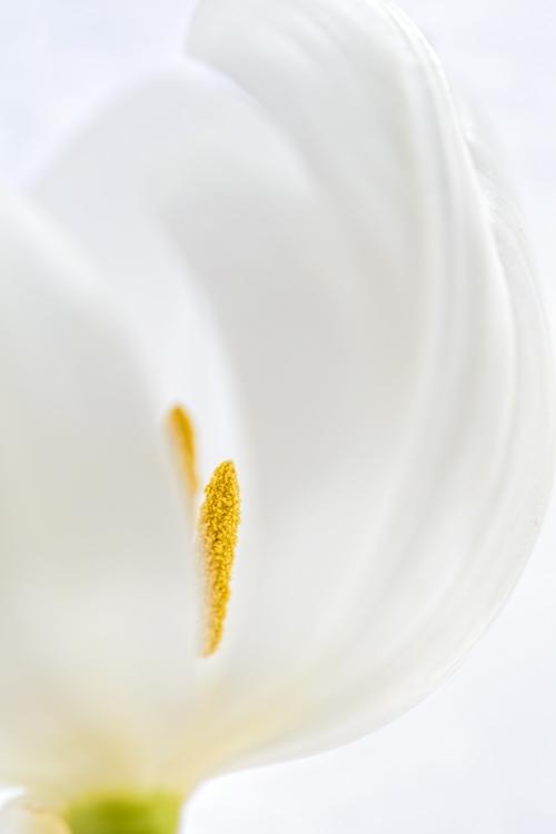 white satin tulip