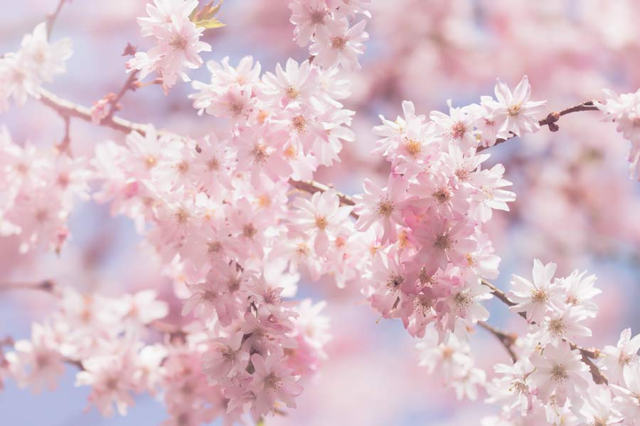 pink -dream-roze-lente-voorjaar