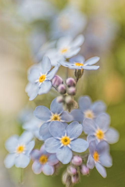vergeet- me- nietjes-blauw-bloemen-boeket