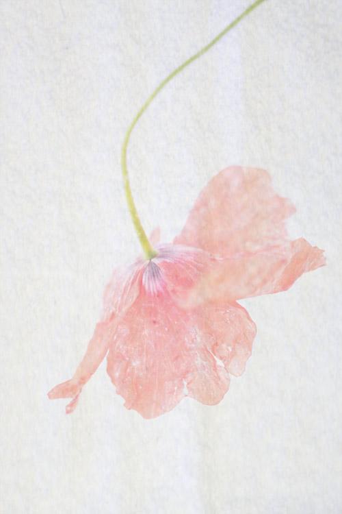 papavero-poppy-klaproos