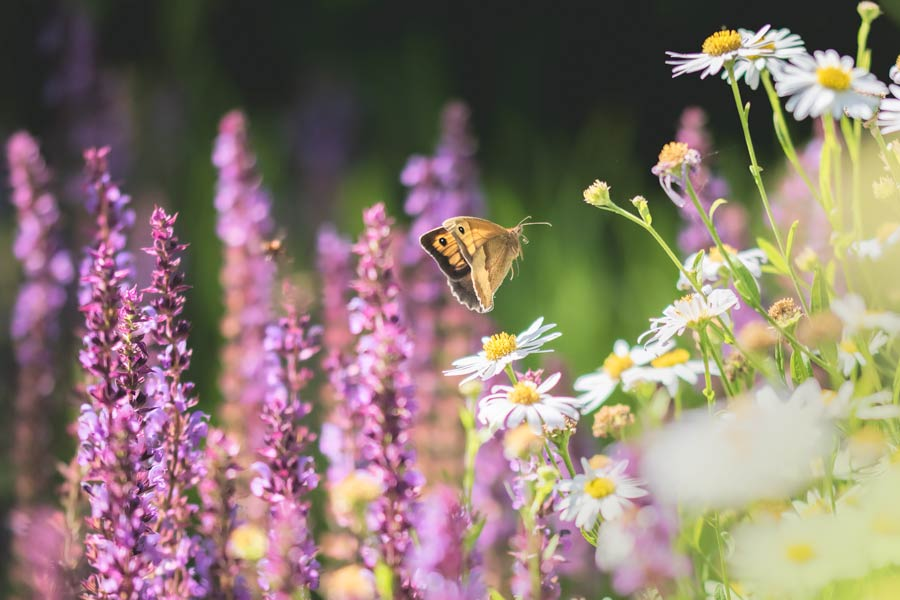 bruin-zandoogje-vliegen-bloemen-planten-vlinder