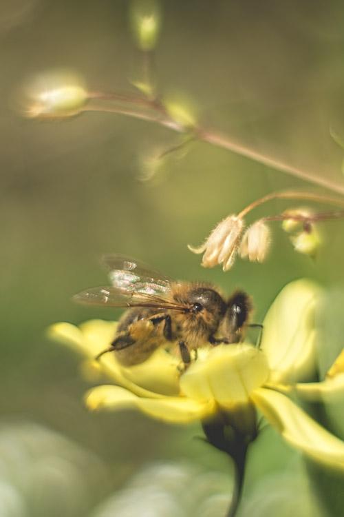 bij-bijtje-nectar-insect-bloem