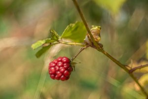 boomkikker-kikkersoort-braamstruweel