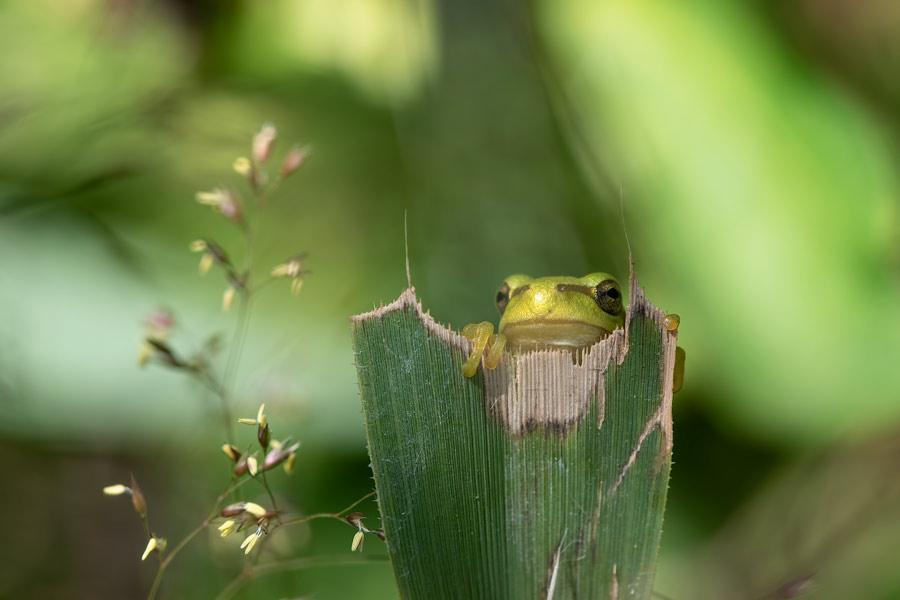 boomkikker-kikker-bramenstruik-macro