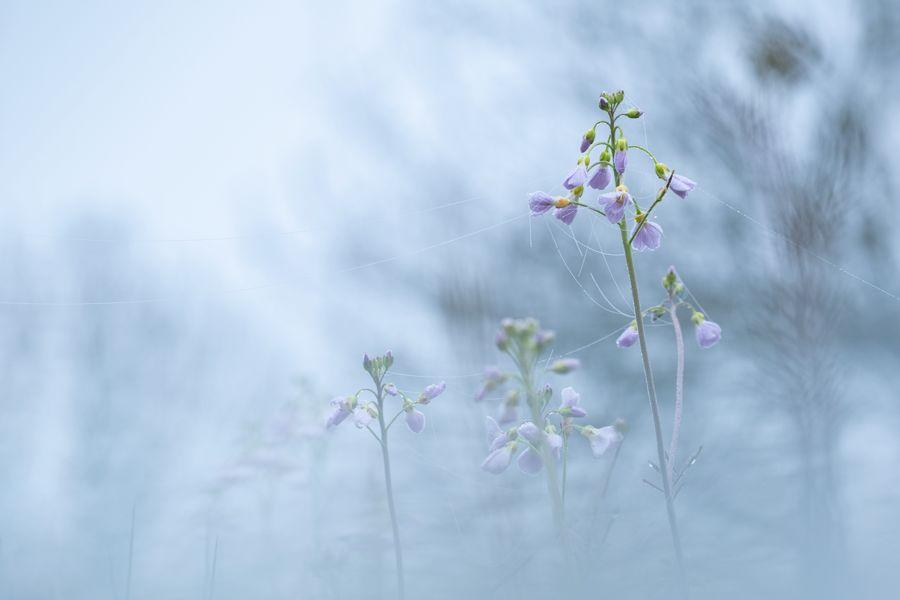 pinksterbloem-ochtenddauw-mist-dauwdraden