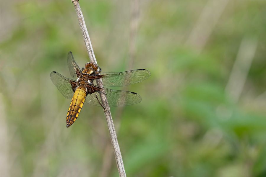 platbuik-libelle-vrouwtje