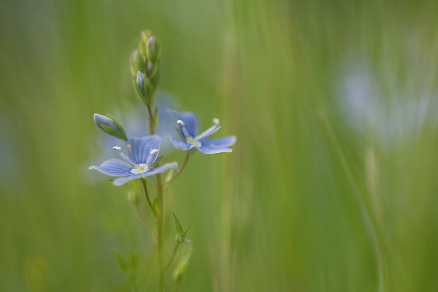 gewone- ereprijs-macrofotografie-blauw