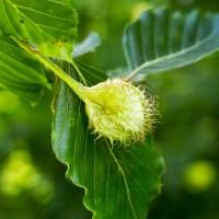 Beech seed husk
