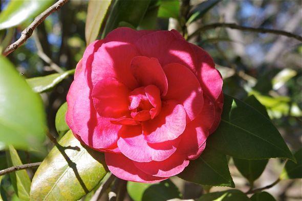 06 camellia