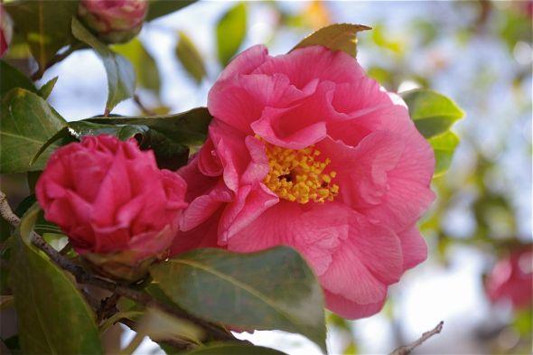 15 Camellia