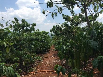 Coffee farm in Dalat, Vietnam