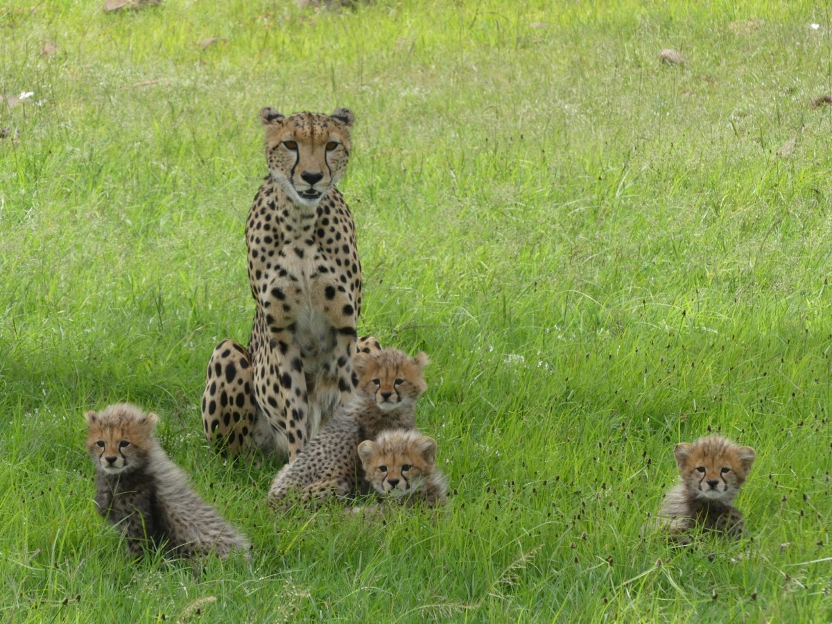 1st week on the Masai Mara Big Cat Conservation Project