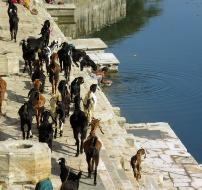 Some goats being herded near Pushkar