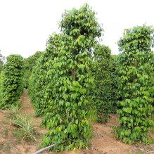Pepper is one of Phu Quoc's most important exports