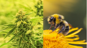 Study Finds Bees Don't Just Love Cannabis — it Can Also Help Save Their Dying Populations
