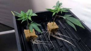 How to Clone Cannabis The Right Way