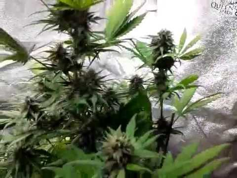 GROWING CANNABIS MATURE AUTOFLOWERS SEEDS TRICOMAS CHECK WEEK 11