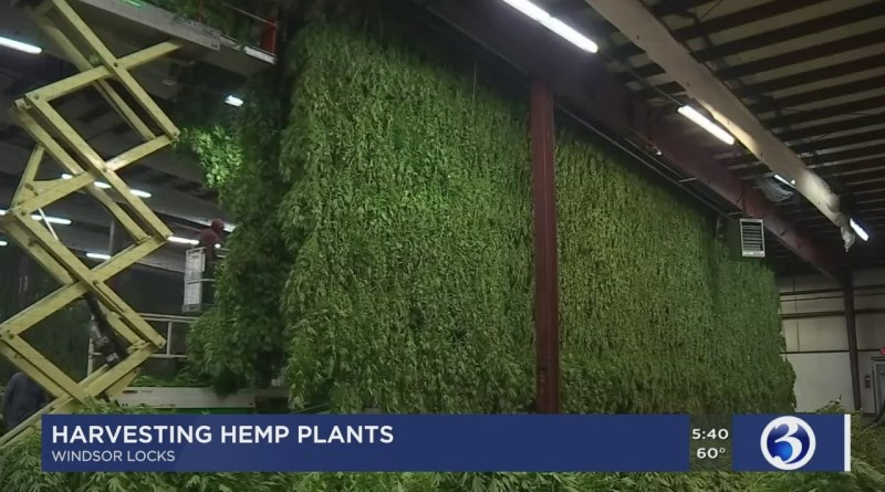 Video: Hemp farmers harvest first crops