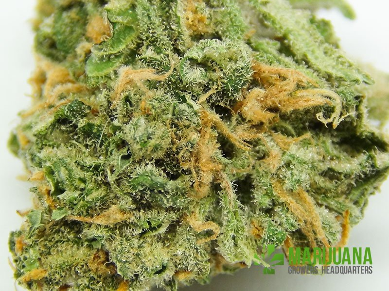 Northern Light Blue Review