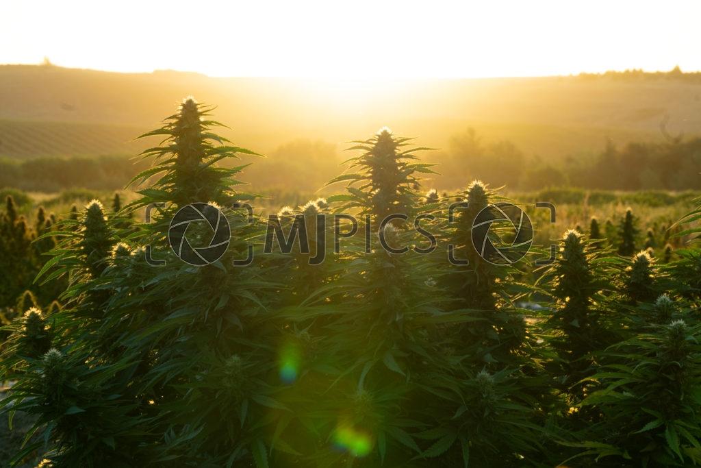 Campo CBD 10000518 download
