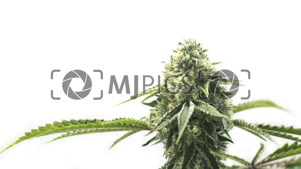 CBD Cheese Autoflower 10000642 download