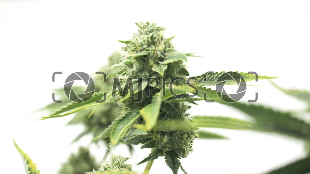 CBD Shishkaberry x Candida Fast Version 10000665 download