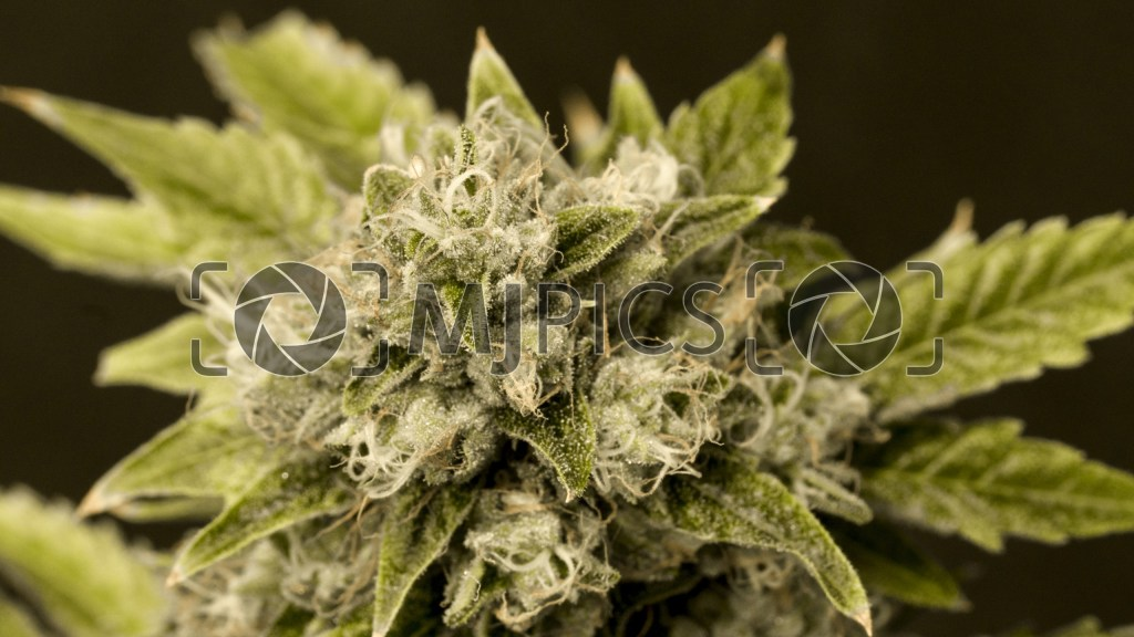 Critical x Cheese Candy 10000739 download