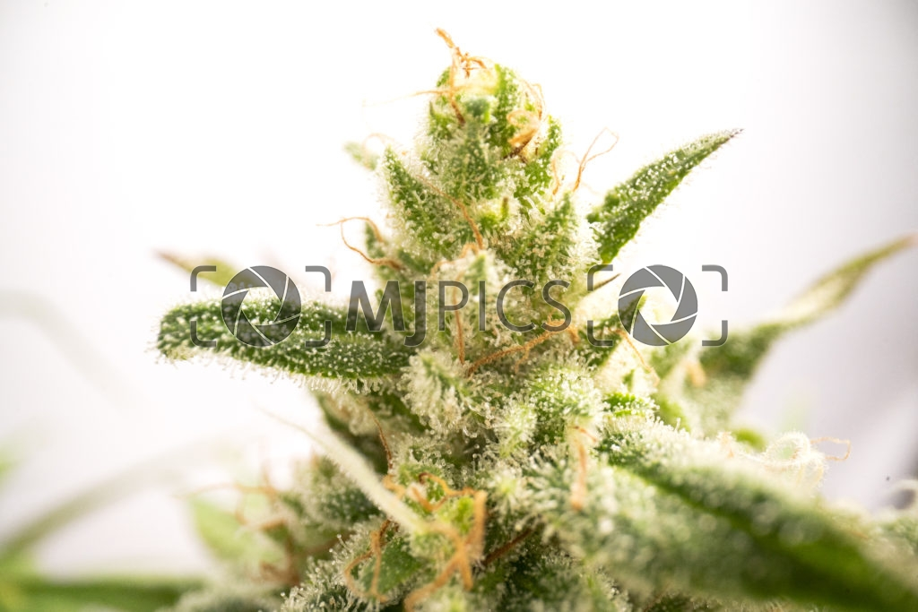 Strawberry Cough 10001031 download