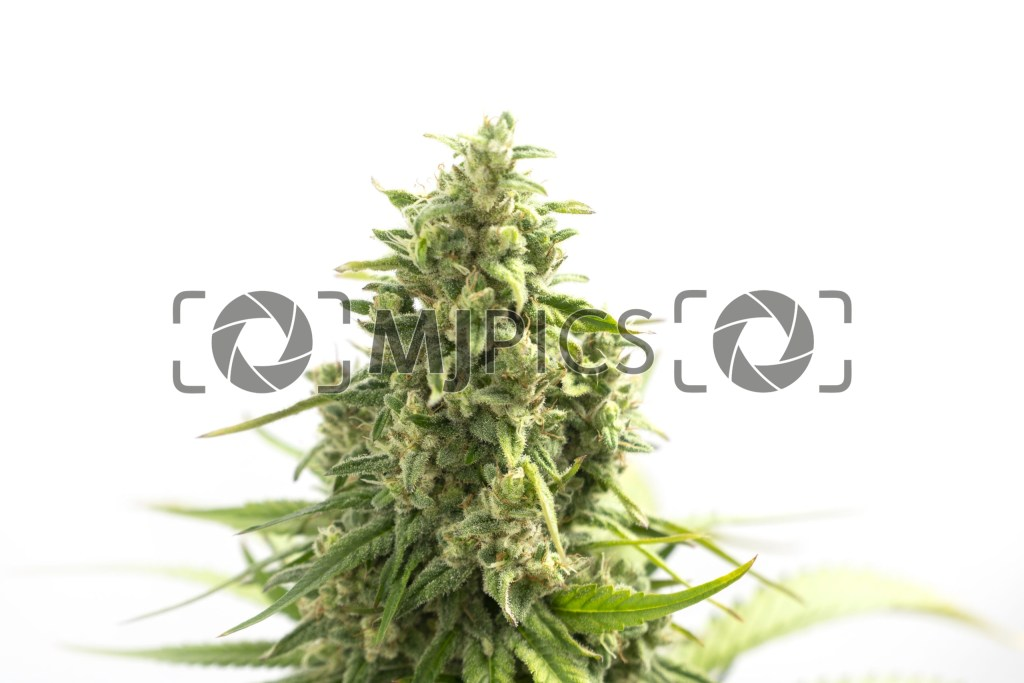 Strawberry Cough 10001035 download