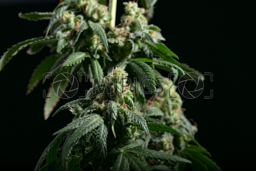 Girl Scout Cookies 10001793