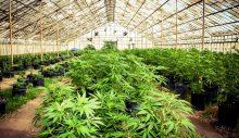 Marijuana Grower Resume