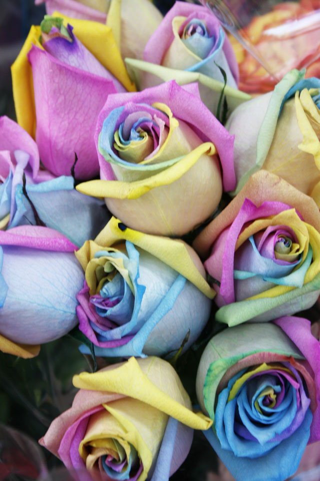 These rainbow roses are not dyed.