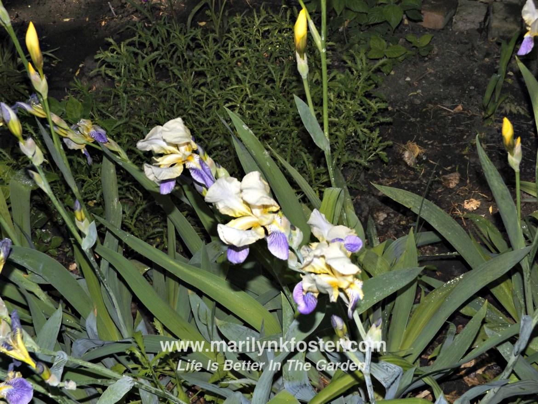 purplewhiteiris4