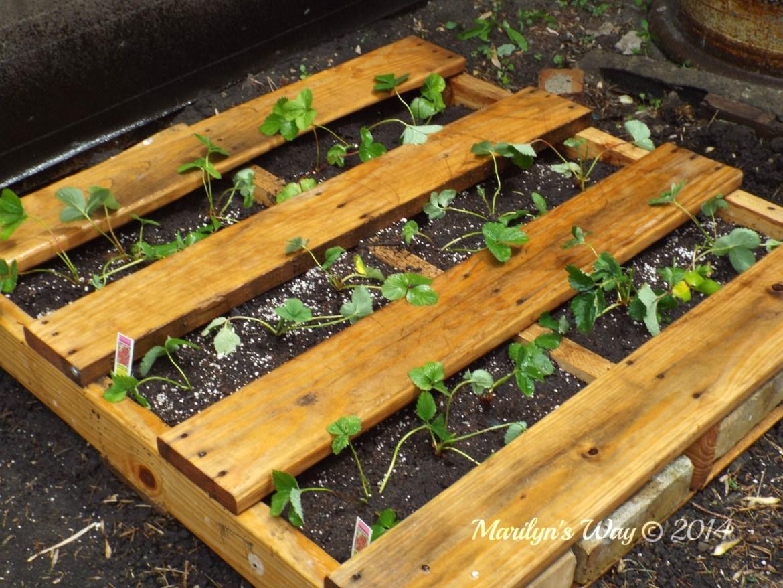 Gardeninginjune strawberry 033