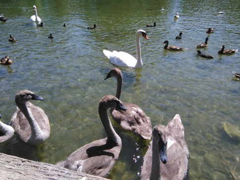 Swans and ducks at Arundel