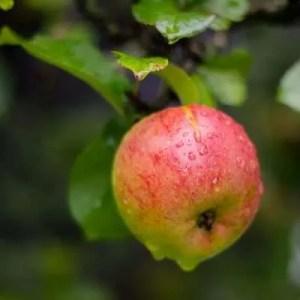 Æble. Opskrifter