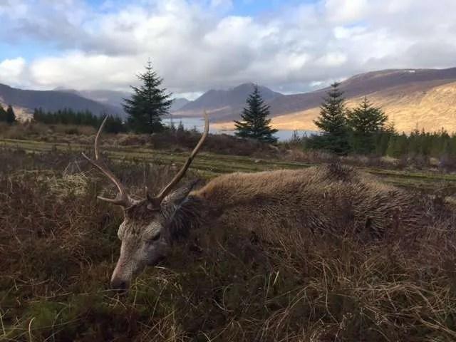Kronhjort i Skotland til vildtpie