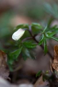 De første anemoner