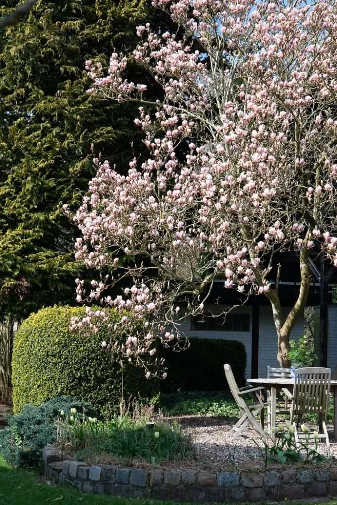 Magnoliatræet i baghaven