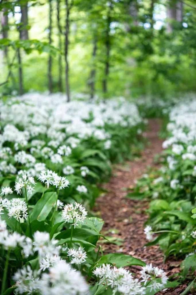 En lille sti gennem blomstrende ramsløg i Riis Skov