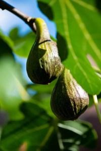 Danske figner på figentræet