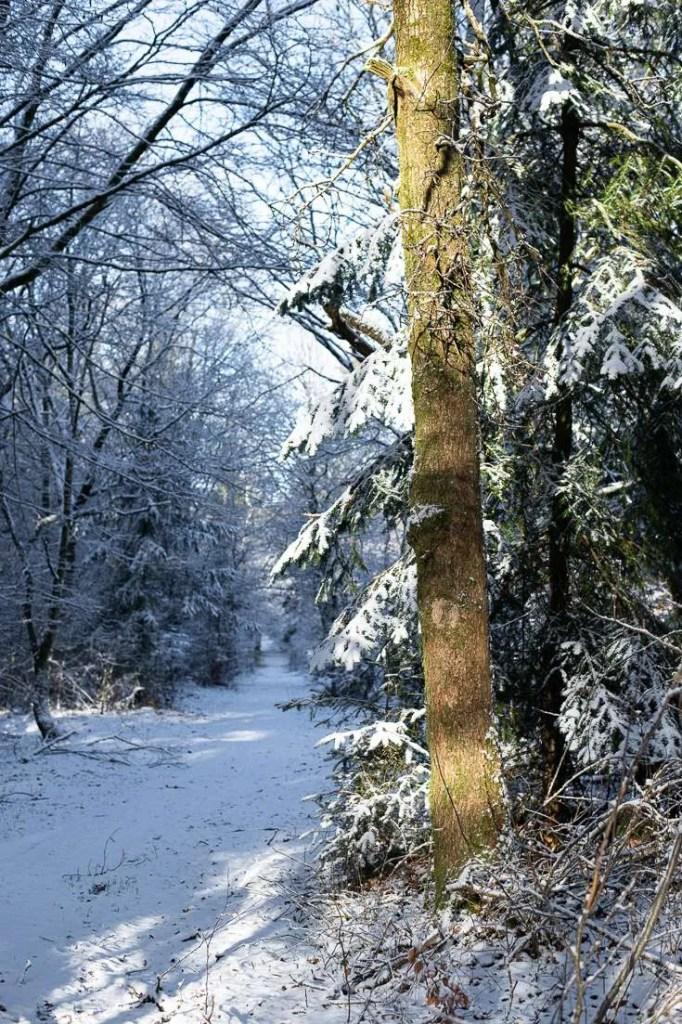 Skov med nyfalden sne