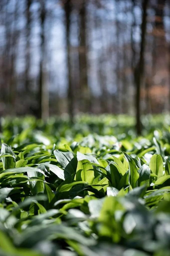 Ramsløgs blade plukkes i skovbunden