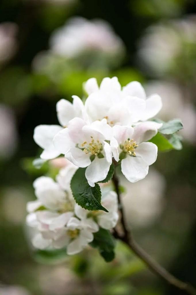 Æbleblomster i min have