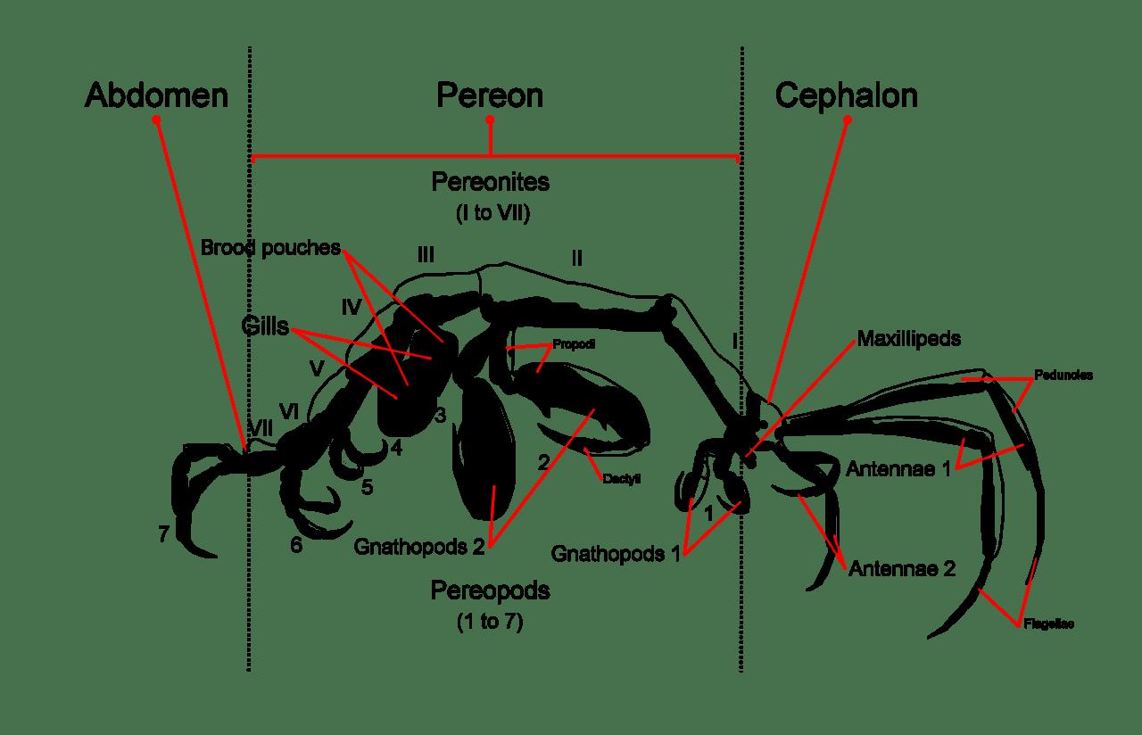 Luke 9 Sp Kelseskreps Fam Caprellidae Kaldblodige