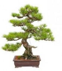 Outstanding Marin Bonsai Club On Feedspot Rss Feed Wiring Cloud Oideiuggs Outletorg