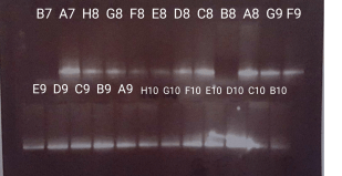 Gel of samples B7-B10 from 2bRAD library 1.