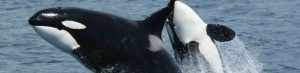 Killerwhales jumping e1477724866833 - killerwhales_jumping