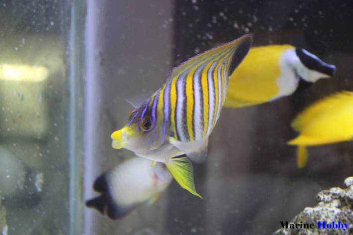 Regal Angelfish_Pygoplitesdiacanthus_MarineHobby