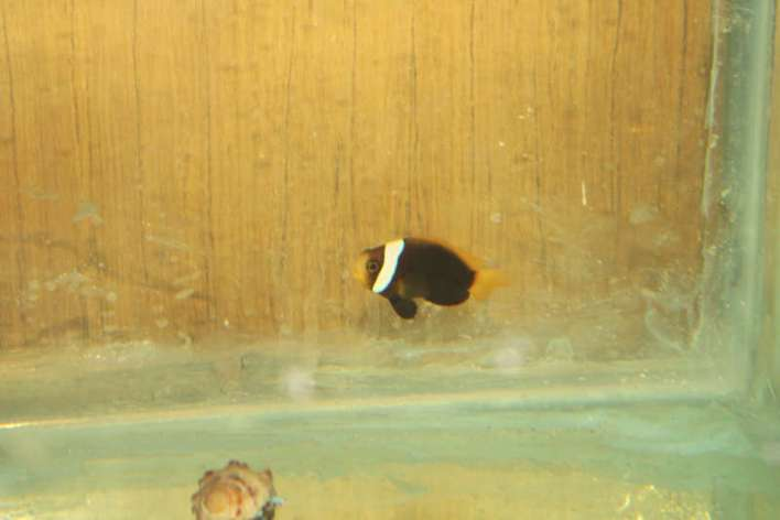 Cinnamon Clownfish 2